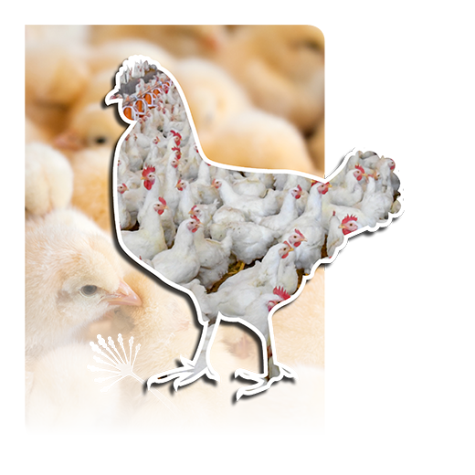 Poultry Mycotoxinas